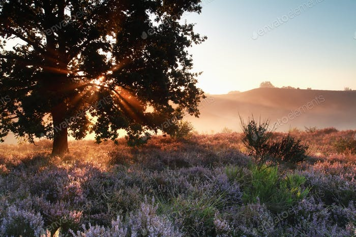 sunbeams through oak tree over heather flowers