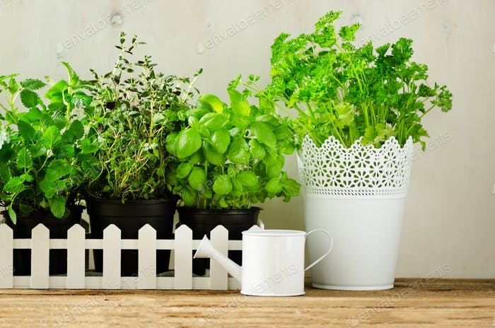 Green fresh aromatic herbs - melissa, mint, thyme, basil, parsley on white background. Banner