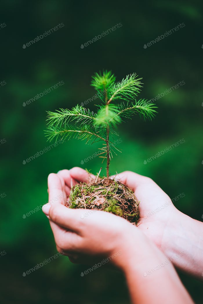 Female hand holding sprout wilde pine tree in nature green forest. Earth Day save environment