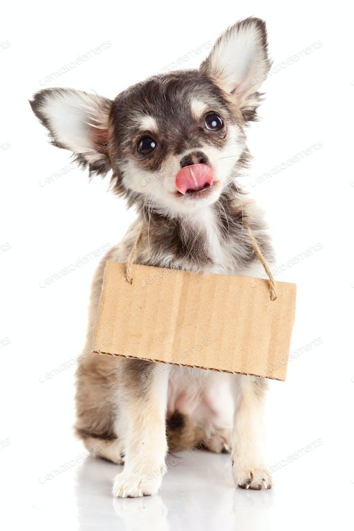 Chihuahua Welpe mit leerem Karton. Hund hält einen Obdachlosen