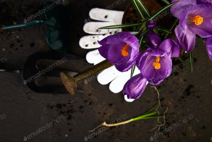 Gartengeräte, junge Sämlinge, Krokusblüte. Frühling