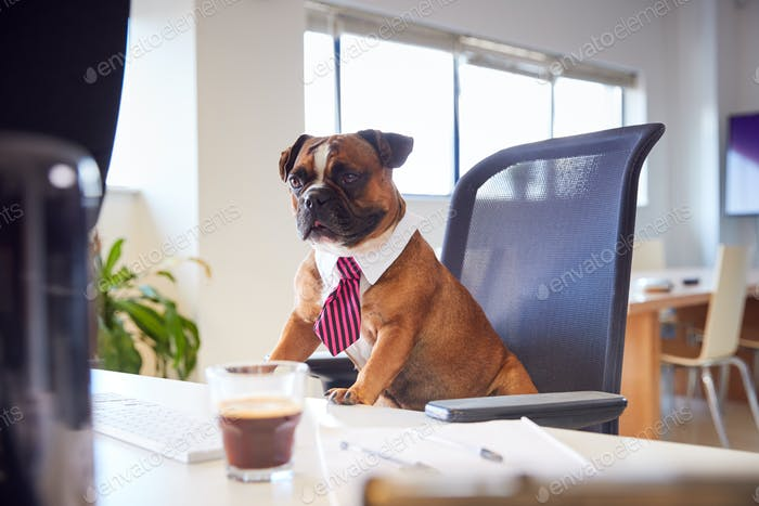 Bulldog Puppy Dressed As Businessman Sitting At Desk Looking At Computer