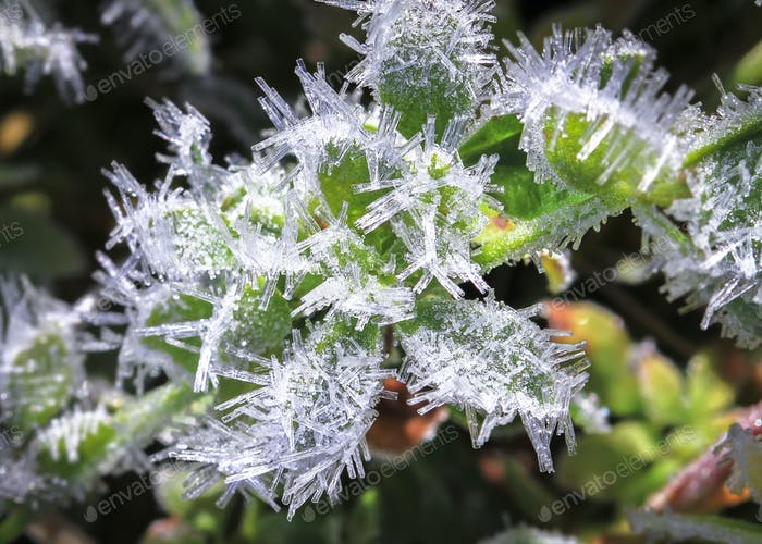 Ice Crystals on a Leaf in New Zealand