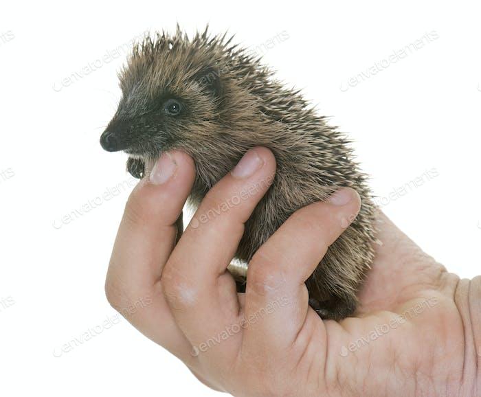 baby hedgehog in hand