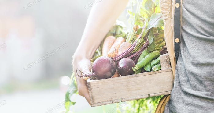 Farmer Adult Man Holding Fresh Tasty Vegetables in Wooden Box in