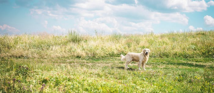 friendly golden retriever dog on beautiful meadow with cloudy sky