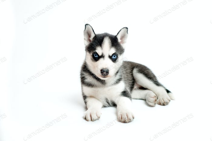 Cute little siberian husky puppy isolated on white