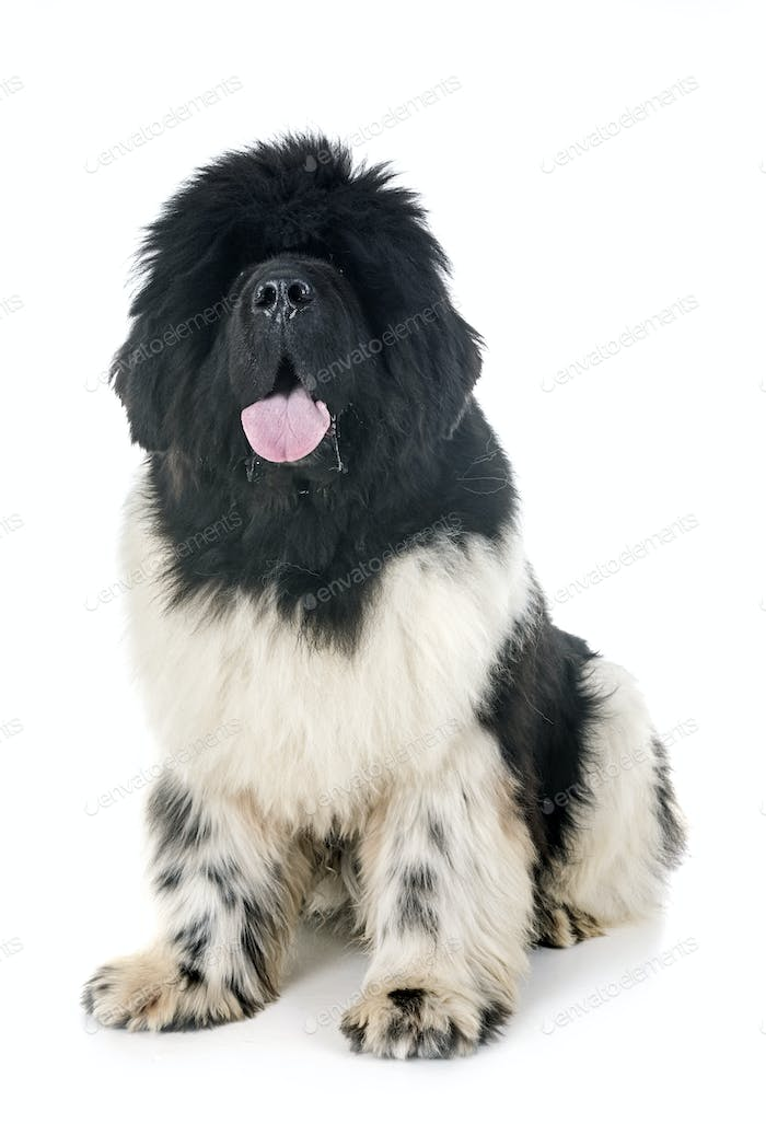 newfoundland dog in studio