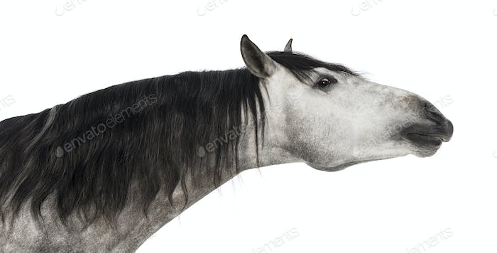 Close-up of an Andalusian head, 7 years old, stretching its neck, Pure Spanish Horse
