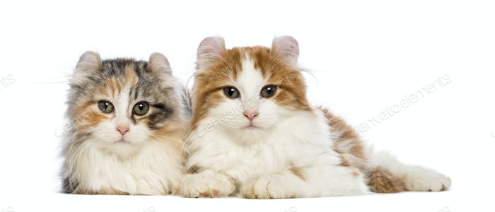Two American Curl kittens, 3 months old, lying and looking at the camera