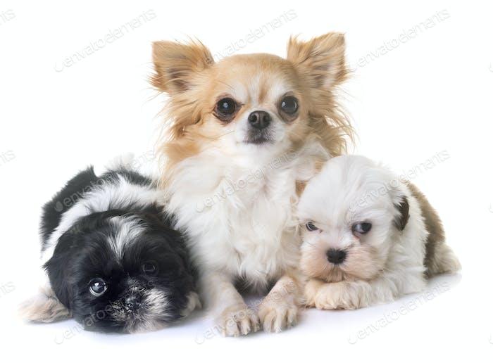 puppies shih tzu and chihuahua