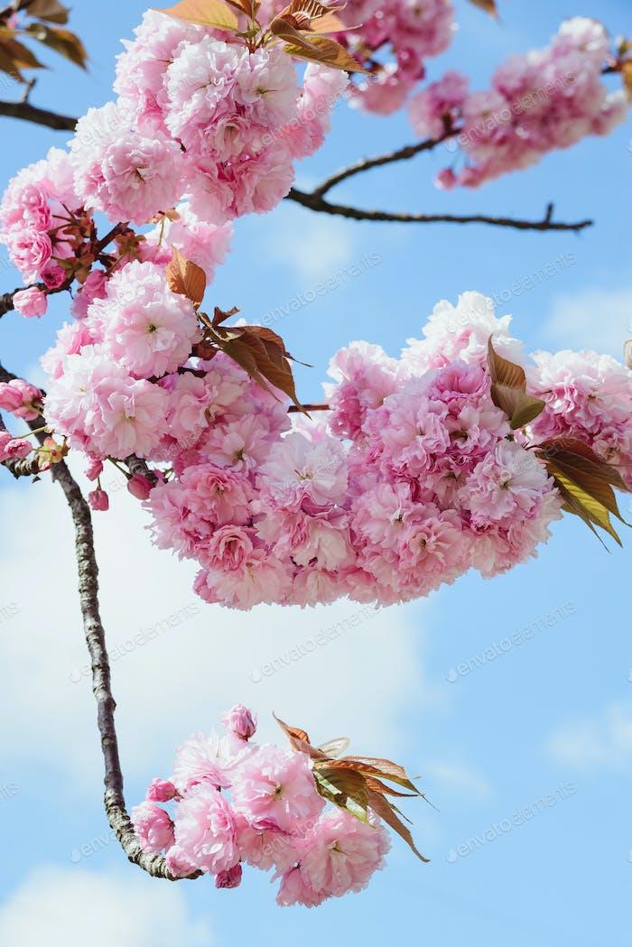 Zweig der Blüte rosa Kirsche oder Sakura im Garten