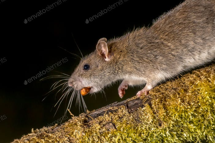 Rata marrón salvaje con nuez