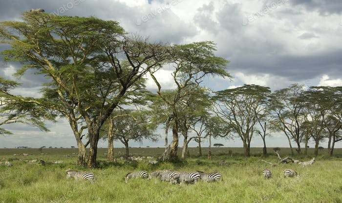Herd of zebra in the serengeti plain