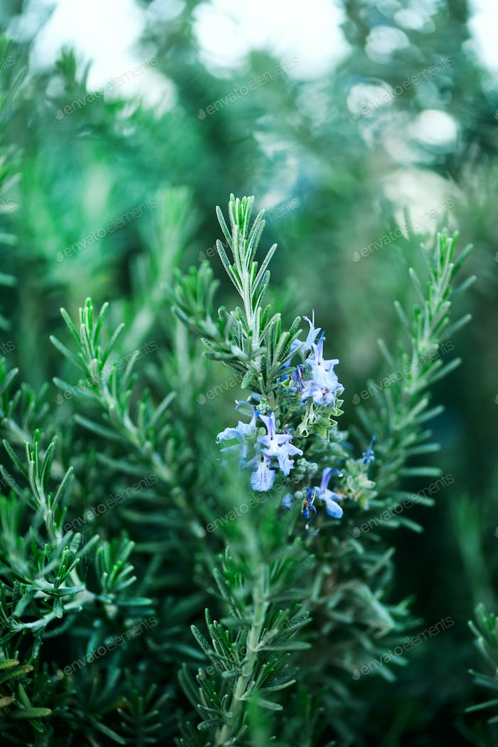 Blossoming rosemary plants with flowers on green bokeh herb background. Rosmarinus officinalis