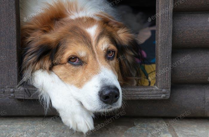 Schäferhund ruht in der Hundehütte, Nahaufnahme