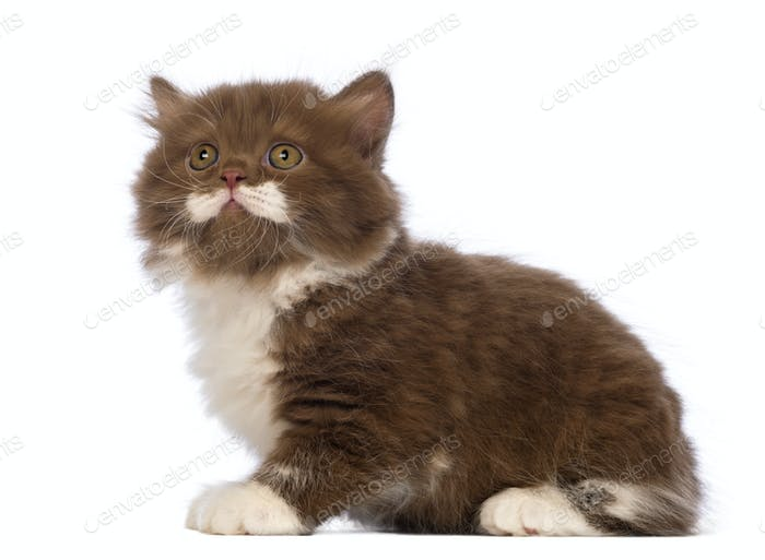 British Longhair kitten, 6 weeks old, sitting and looking up in front of white background