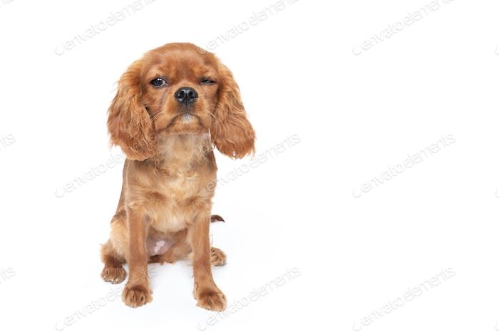 Puppy of king charles cavalier spaniel with funny face isolated on white