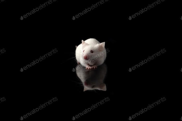 White rat isolated on black background. Symbol of new year 2020