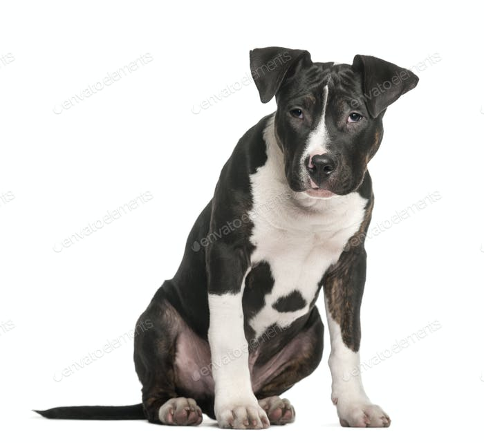 American Staffordshire Terrier sitting against white background