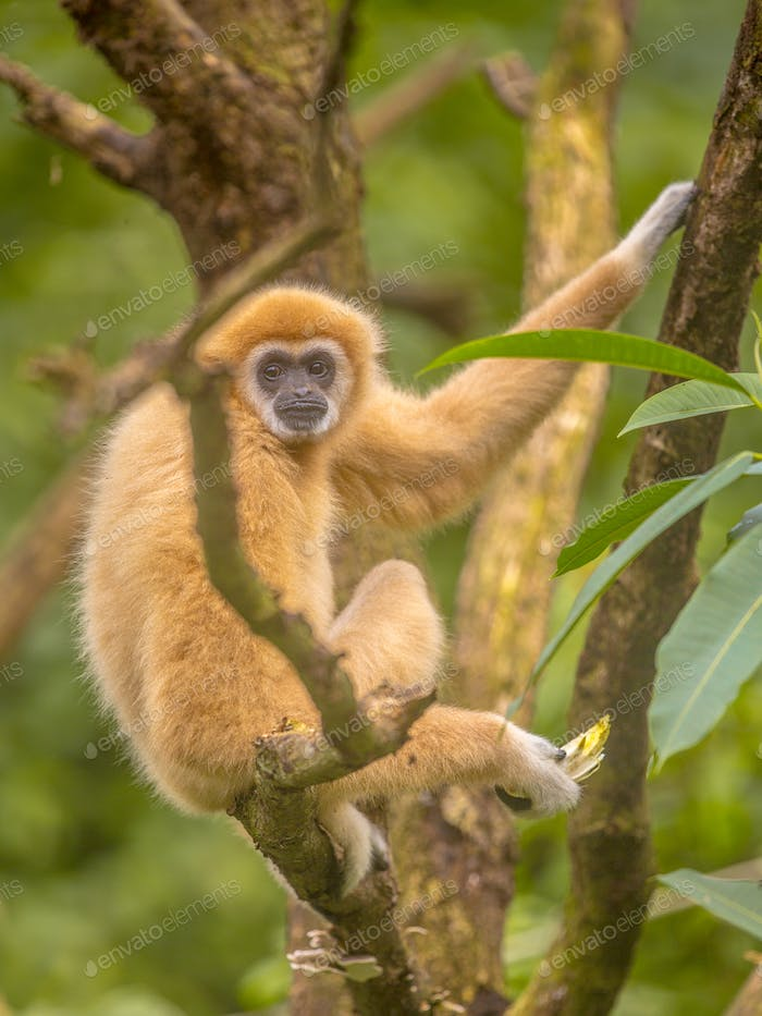 Lar gibbon resting on branch in rainforest jungle