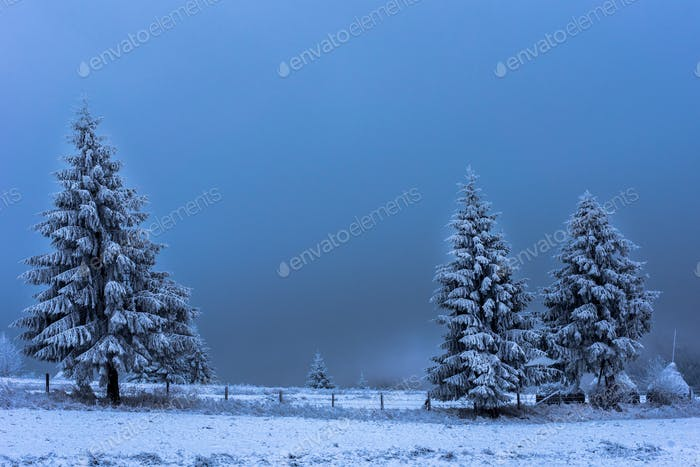 Fir trees covered with hoarfrost