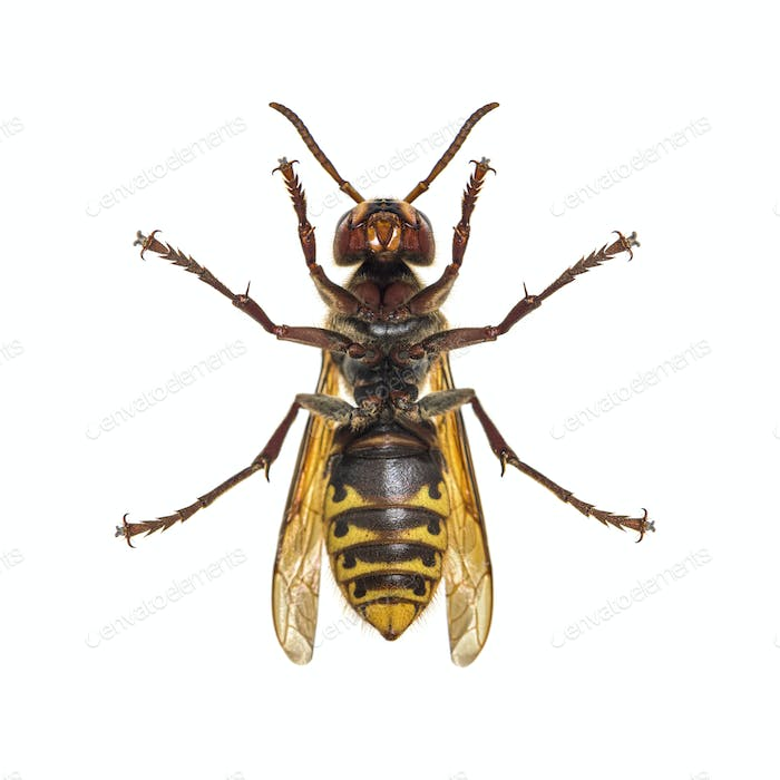 Bottom view of a european Hornet, isolated on white