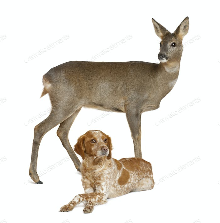 European Roe Deer, Capreolus capreolus, 3 years old, standing