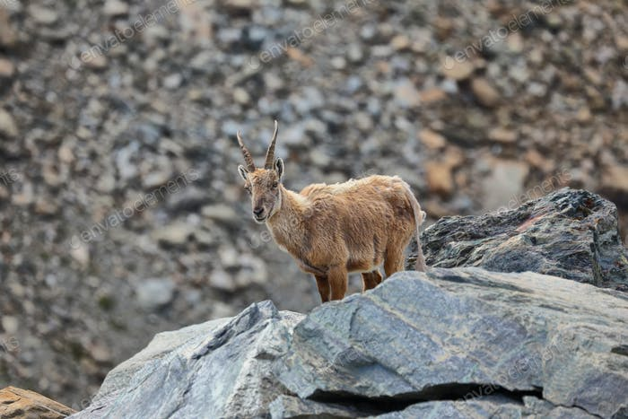 Chamois (Rupicapra rupicapra) in Aosta Valley, Italy