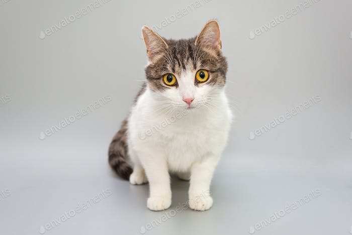 Funny cat on a gray background