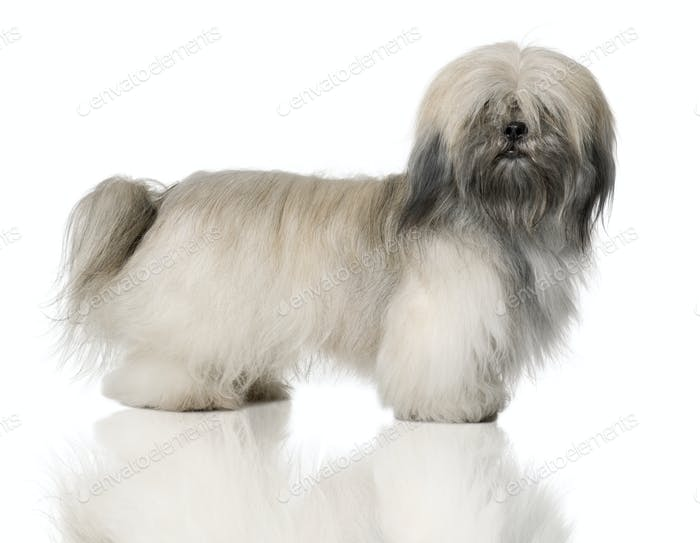 Lhasa Apso, 18 Months Old, standing in front of white background
