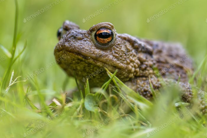 Headshot Portrait of a Common toad