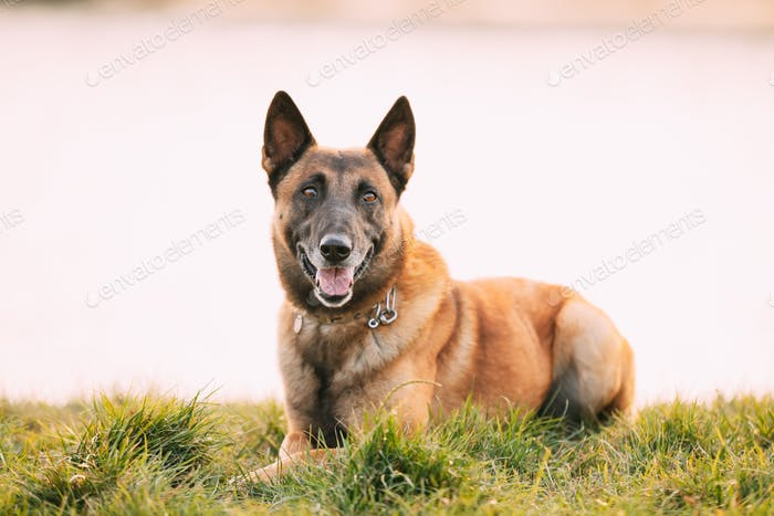 Malinois Dog Sit Outdoors In Grass. Belgian Sheepdog Are Active, Intelligent, Friendly, Protective