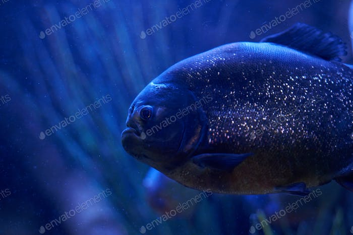 Tropical fish with reflective scales in the dark