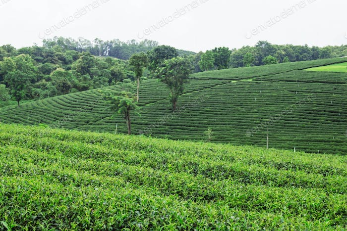 Tea plantation with greenery