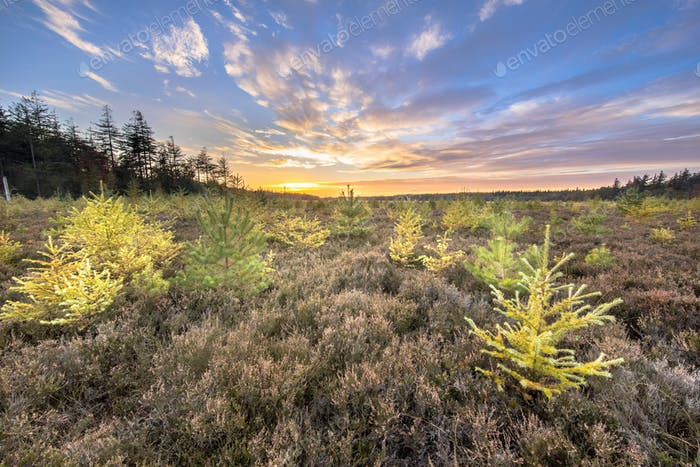 Heathland with bright colored larch