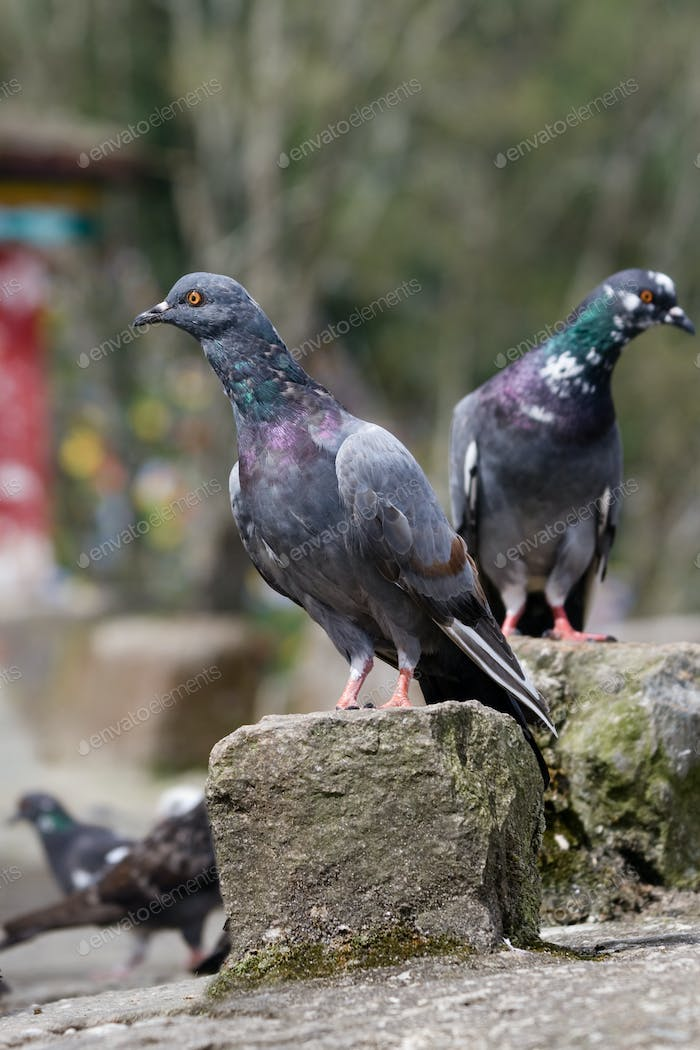 Pigeons sitting on rocks