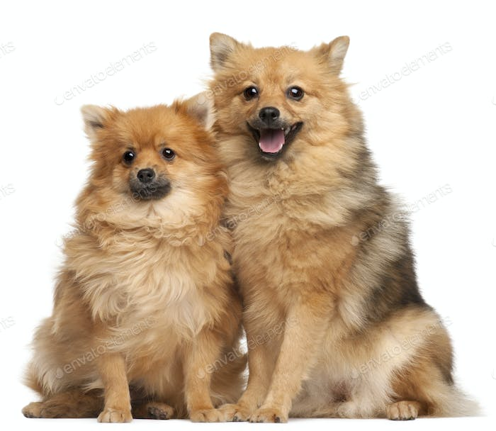 Two Spitz dogs, 1 year old, sitting in front of white background