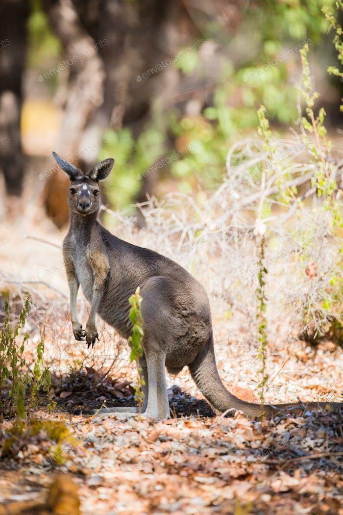 Känguru in freier Wildbahn