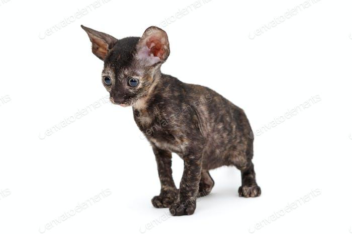 Kleine Kätzchen Rasse Cornish Rex