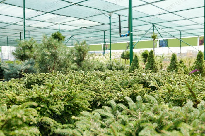 Interior of large contemporary greenhouse with long rows of growing seedlings of evergreen trees