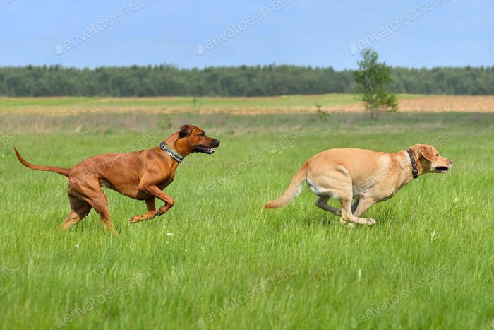 Running happy dogs