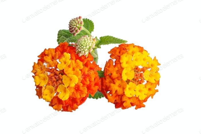 Lantana camara Blume isoliert