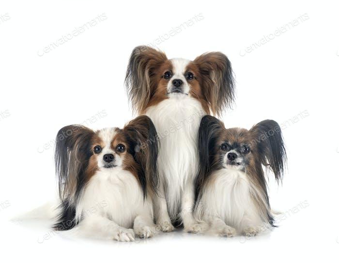 papillon dogs in studio