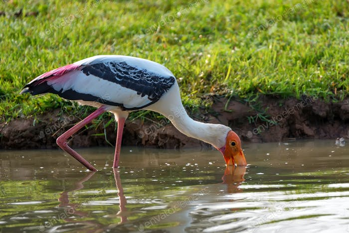 Painted Stork or Mycteria leucocephala