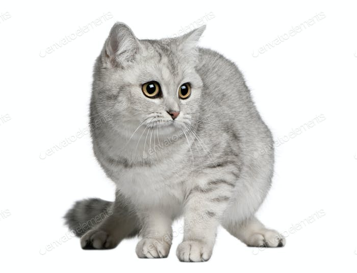 British shorthair cat, 9 months old, standing in front of white background