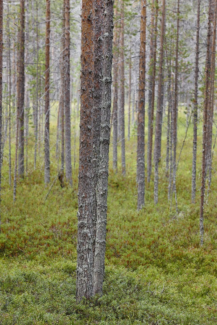 Finland pine wood forest landscape. Finnish timber industry. Vertical