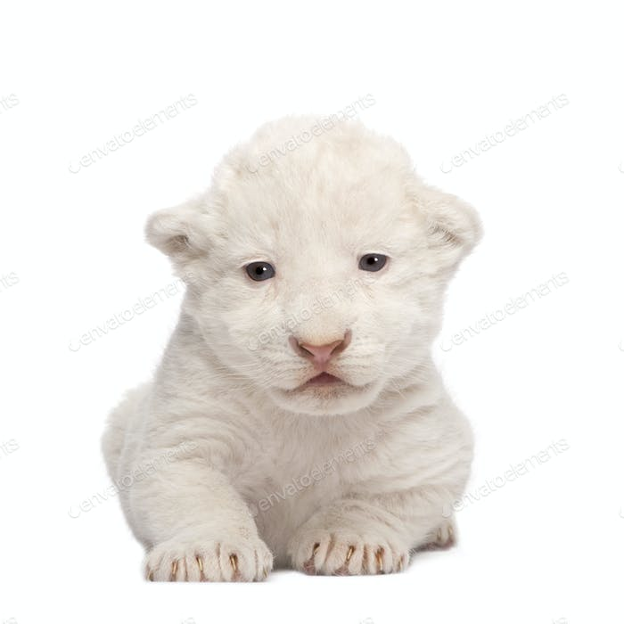 White Lion Cub (1 week)