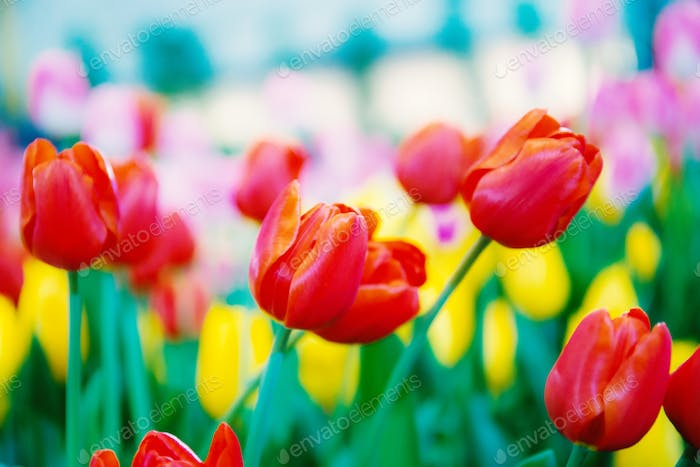 Red and colorful of tulip
