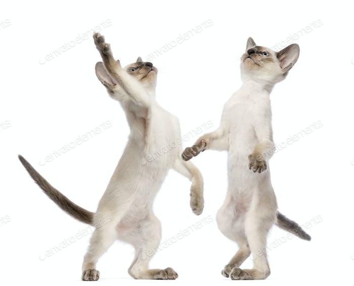 Two Oriental Shorthair kittens, 9 weeks old, standing on hind legs